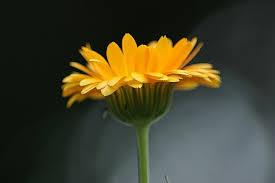 marigold pixabay